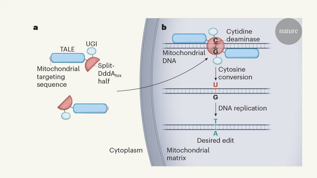 CRISPR free mitochondrial DNA editing with a bacterial toxin