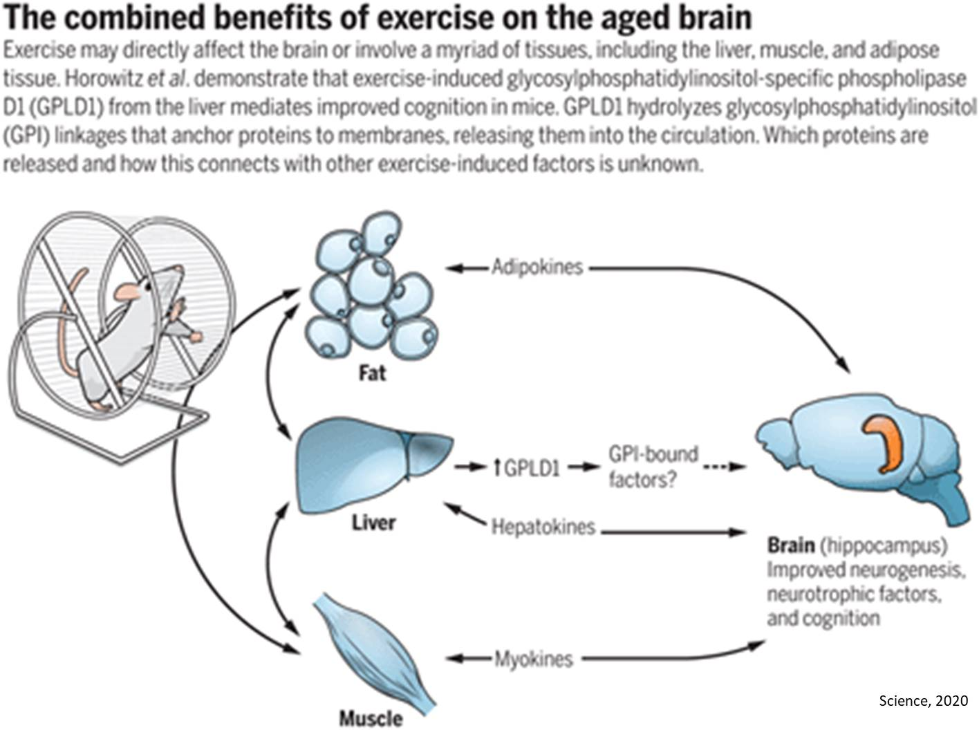 Brain rejuvenation from blood plama transfer from exercised mice to sedentary