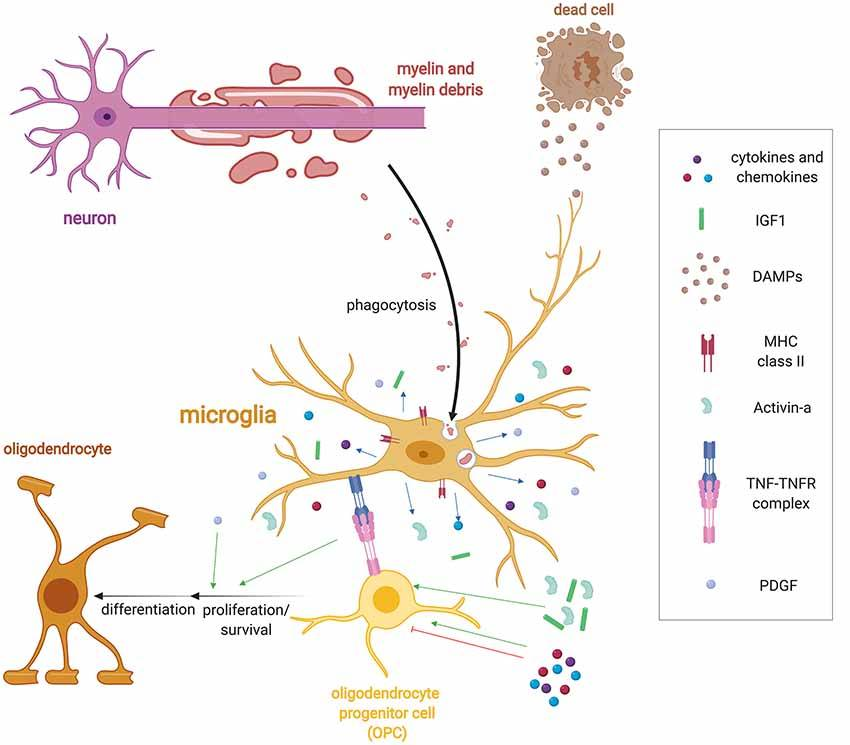 Microglia not only prune synapses and neurons but myelin sheaths as well