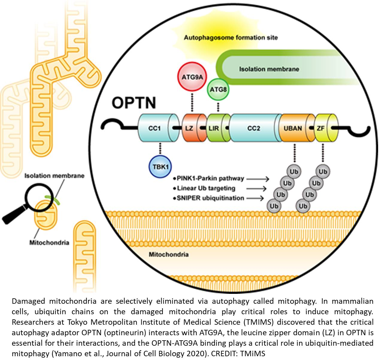 Signaling in mitochondrial ubiquitination and mitophagy
