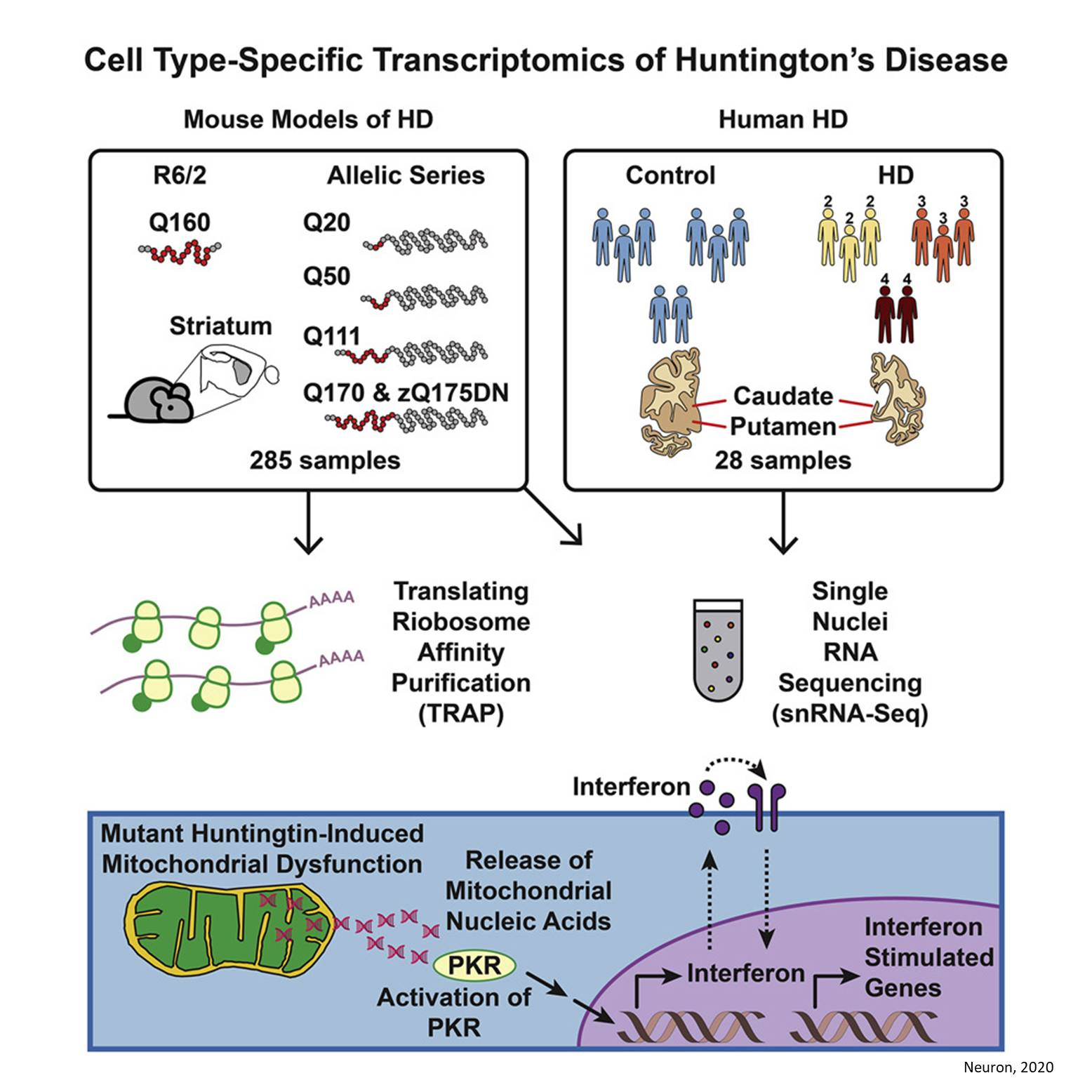 Mitochondrial RNA release activates inflammation in Huntington's disease