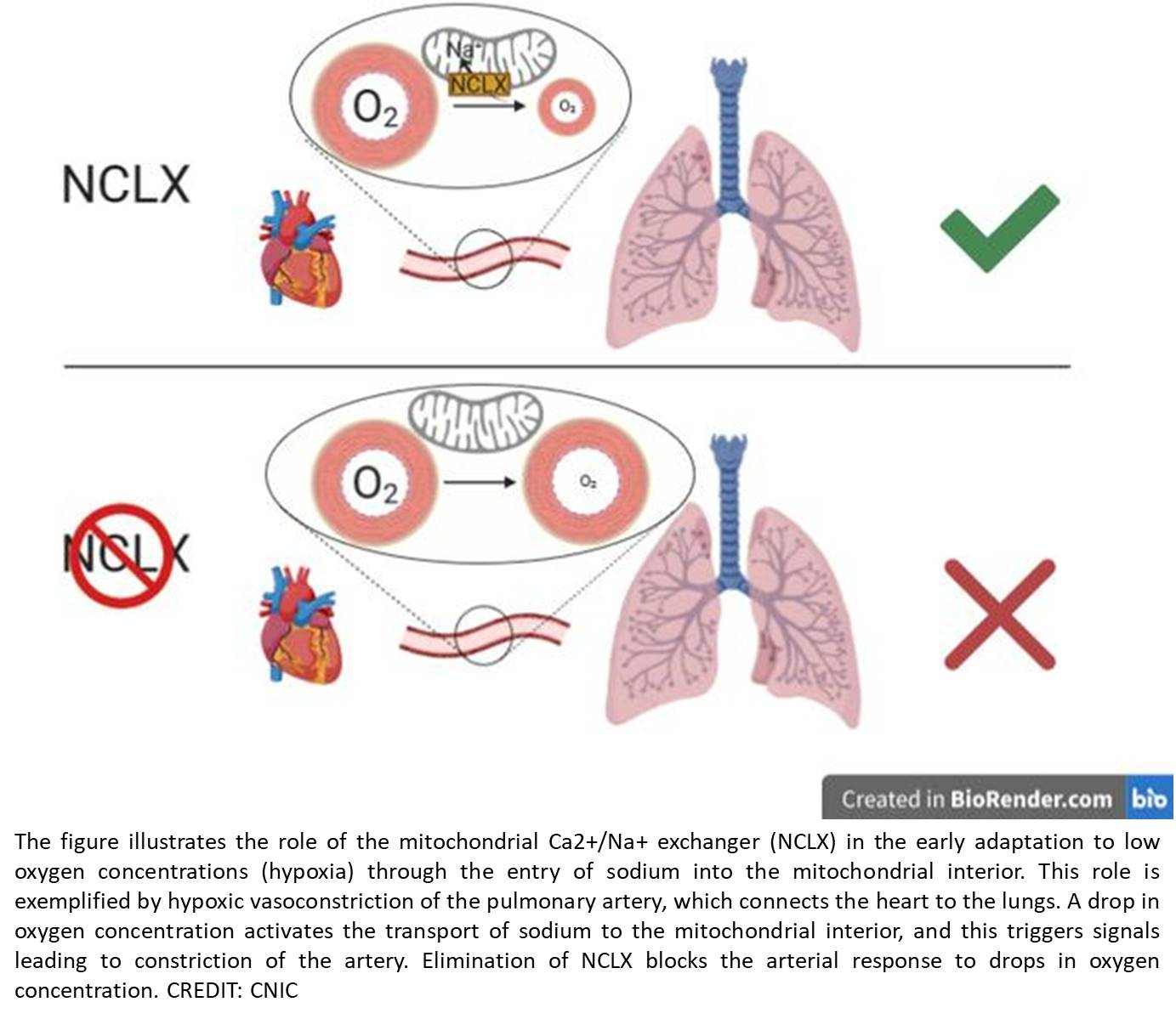 Sodium controls hypoxic signaling in the mitochondrial respiratory chain