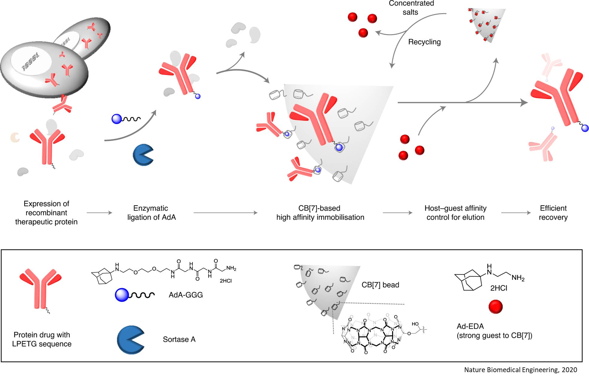 New affinity purification technique for therapeutic proteins