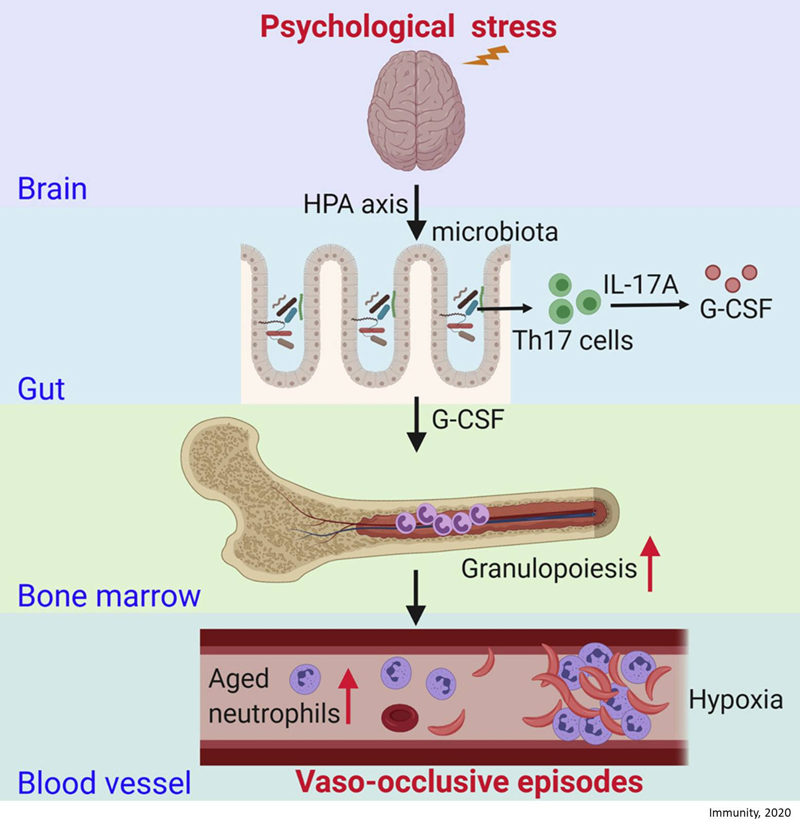 The Gut Microbiome Regulates Psychological-Stress-Induced Inflammation
