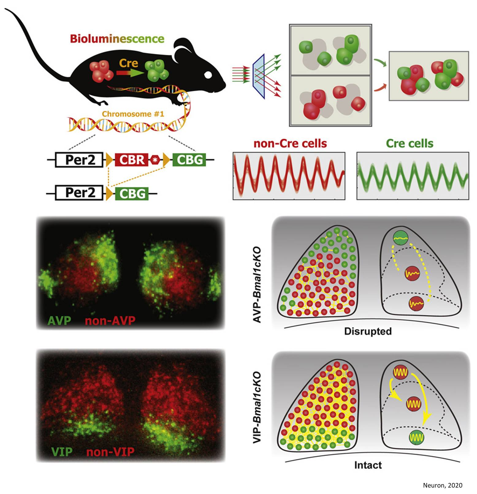 Neurons that keep the body's master circadian clock ticking identified!