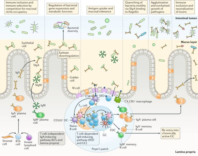 Building our antibody repertoire by the gut microbes