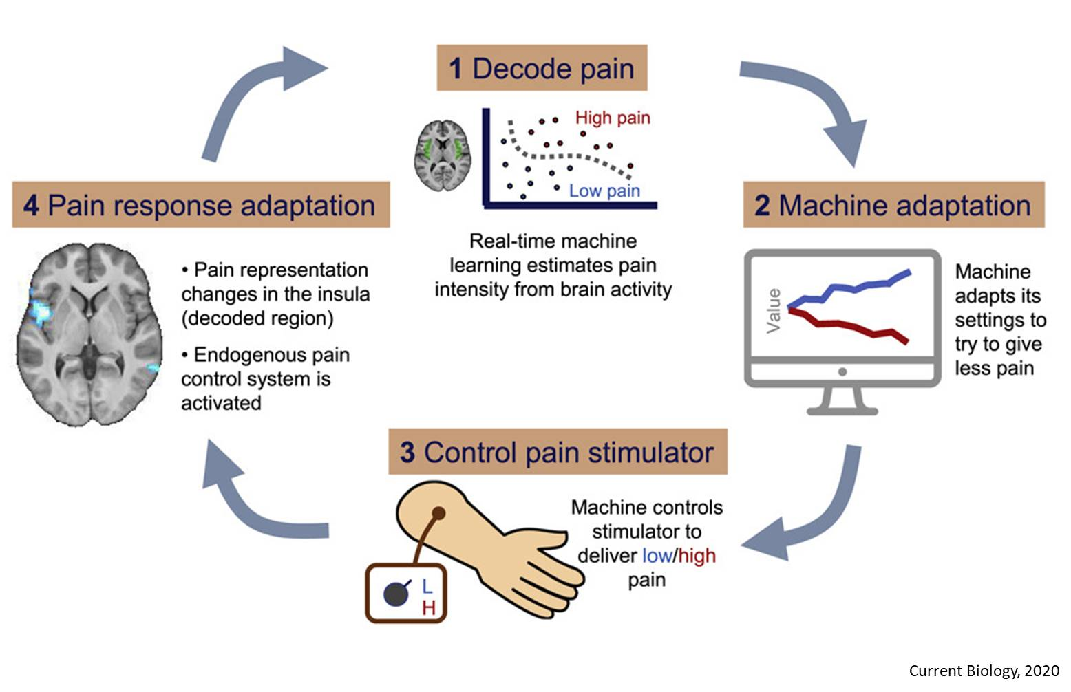 Pain Control by Co-adaptive Learning in a BrainMachine Interface