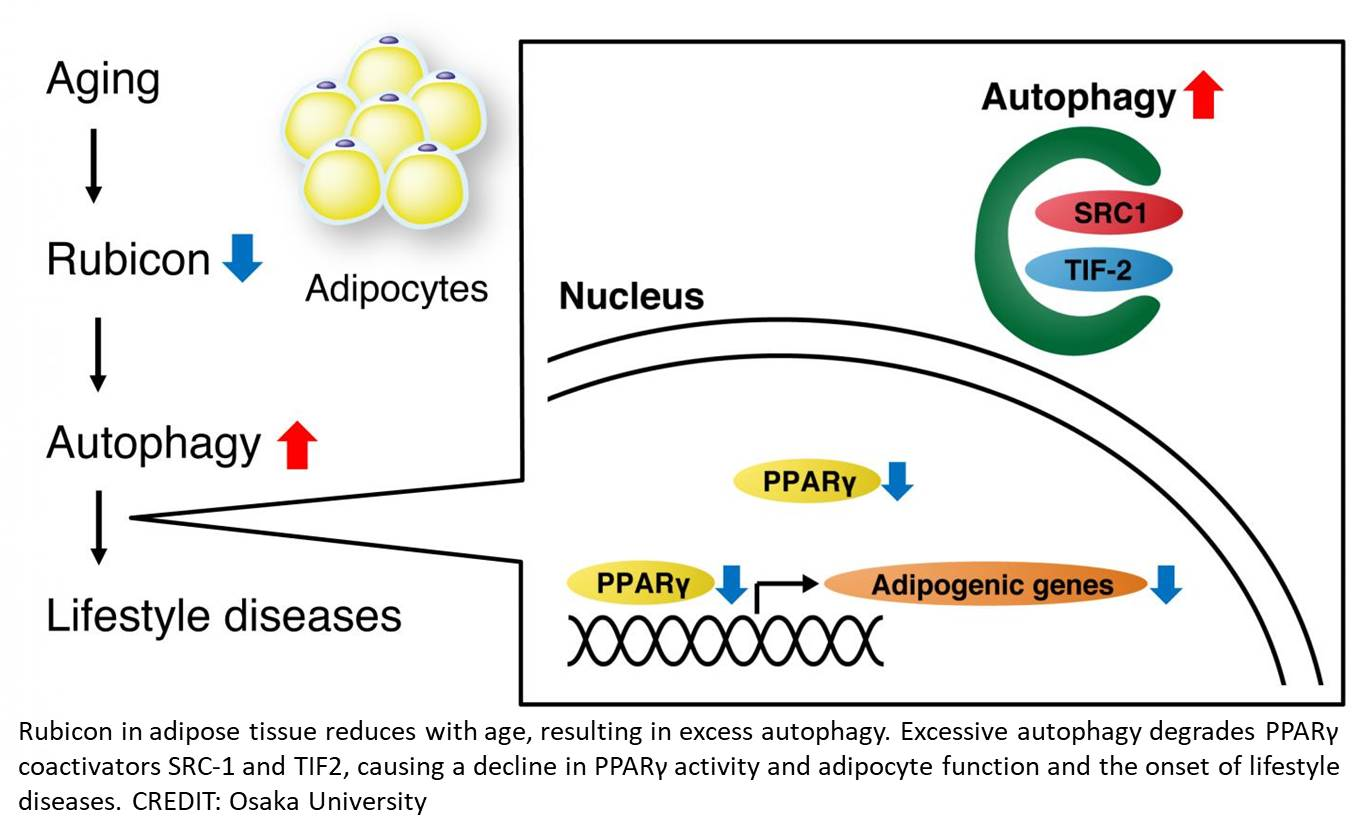 Aging related metabolic disorder from loss of a protein in fat tissue
