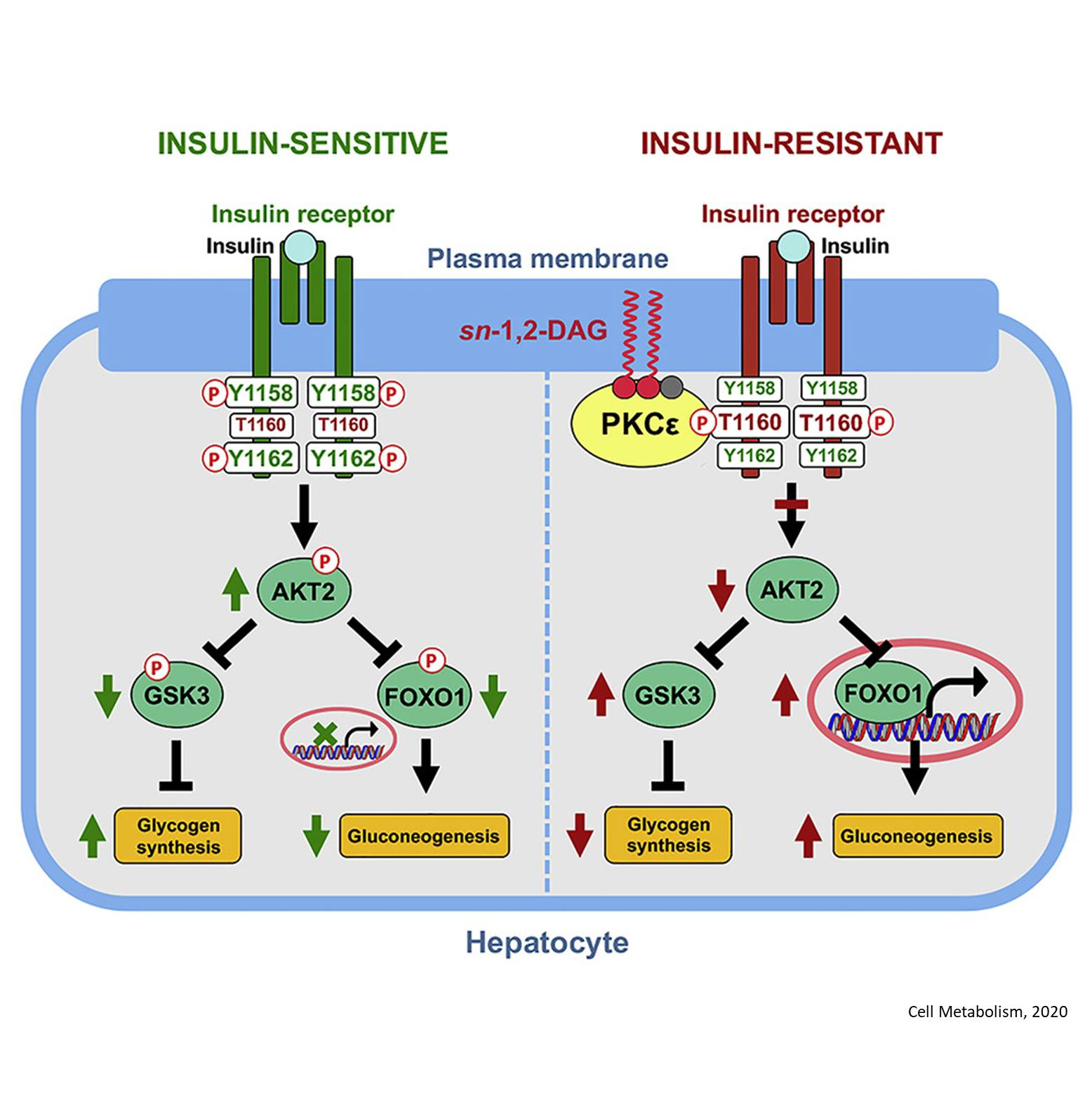 Link between liver disease and insulin resistance identified!
