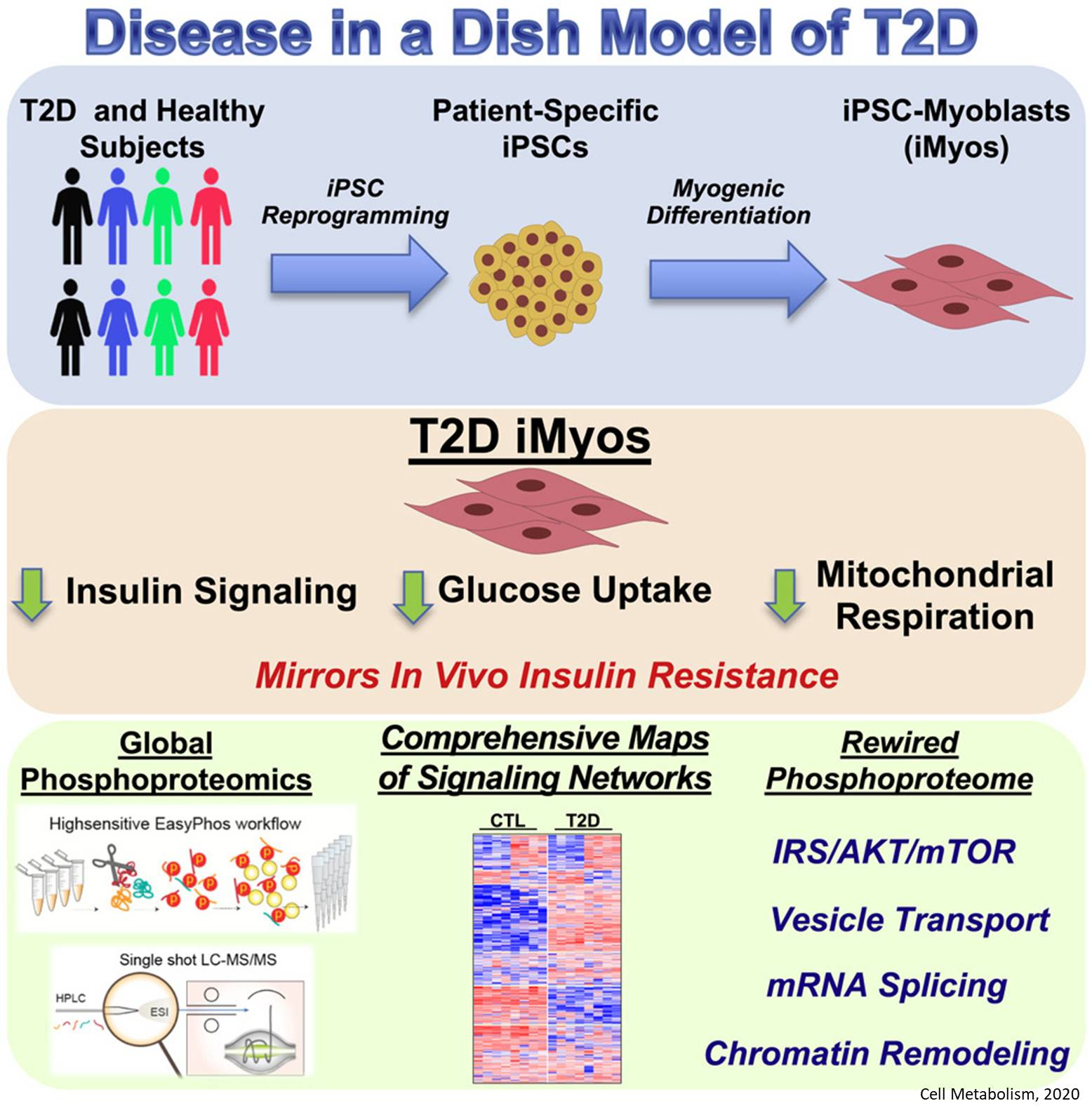 Dysregulated Protein Phosphorylation Underlies Muscle Insulin Resistance in Type 2 Diabetes