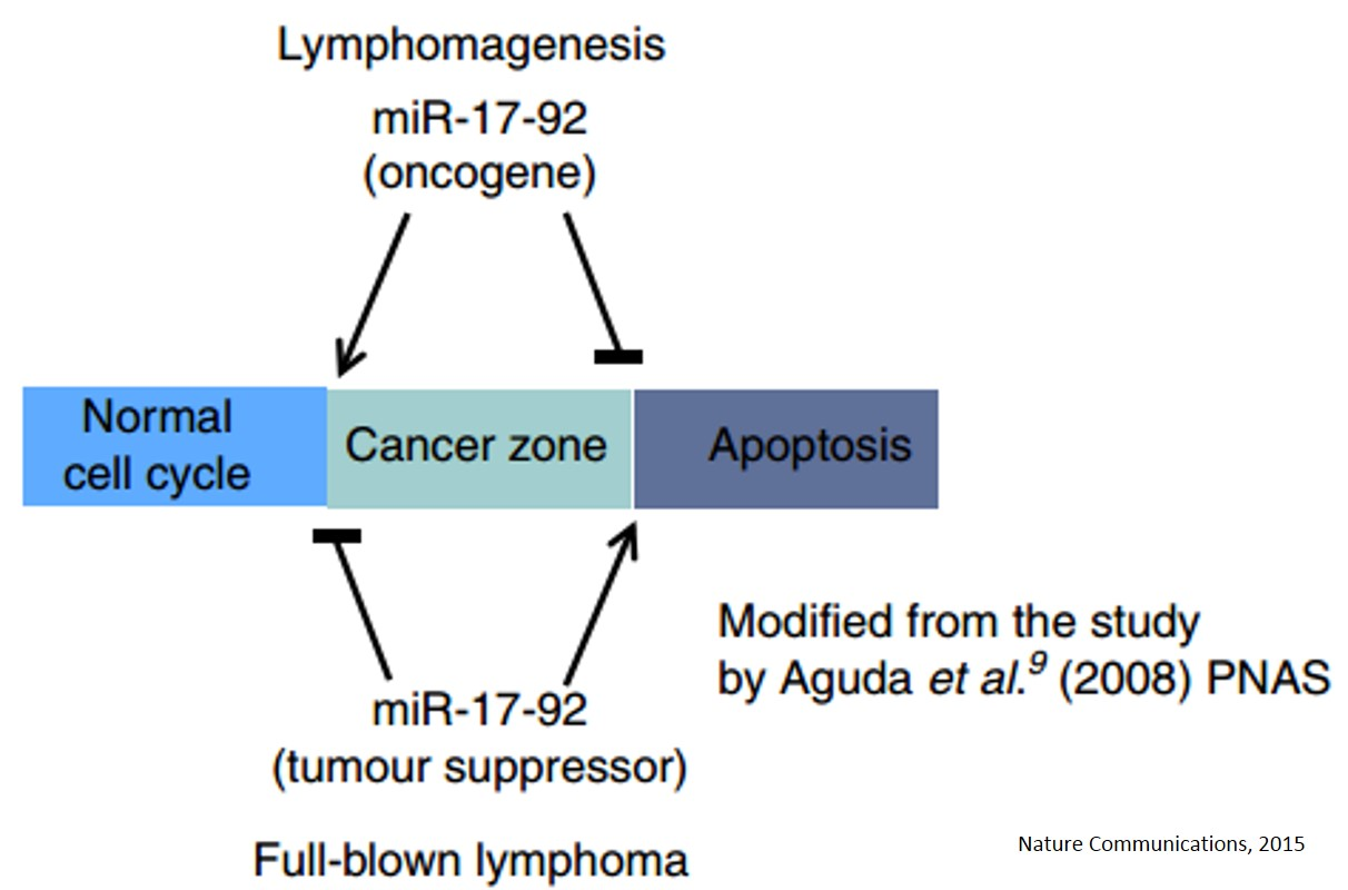MicroRNA controls MYC expression and function to regulate tumor growth