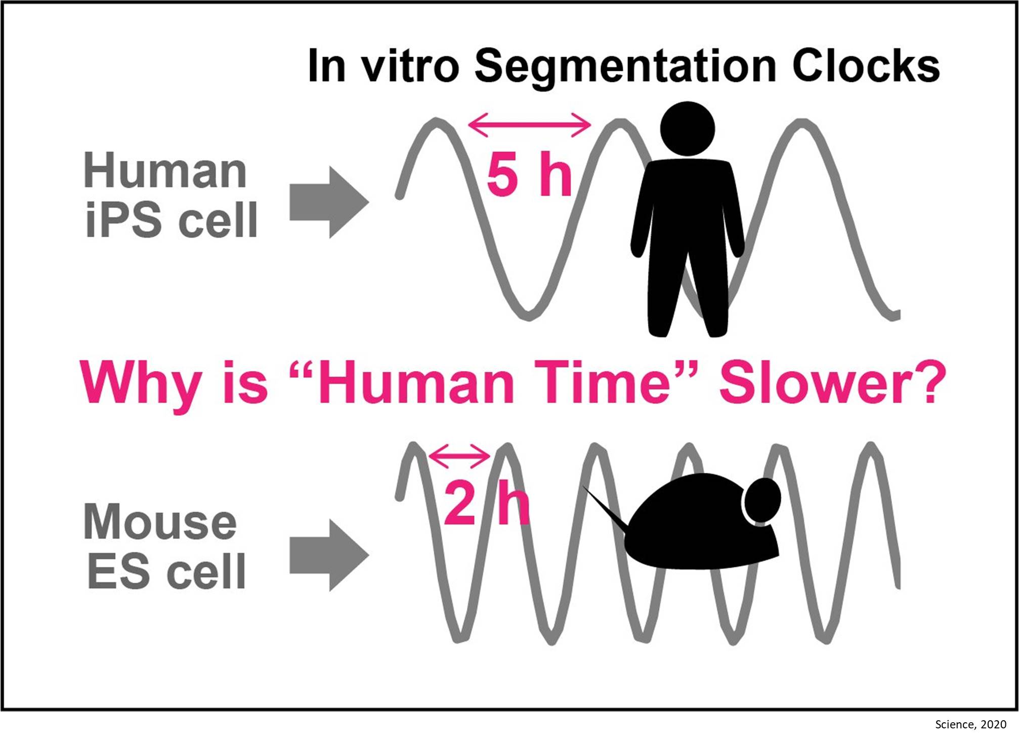 Why humans develop more slowly than mice?