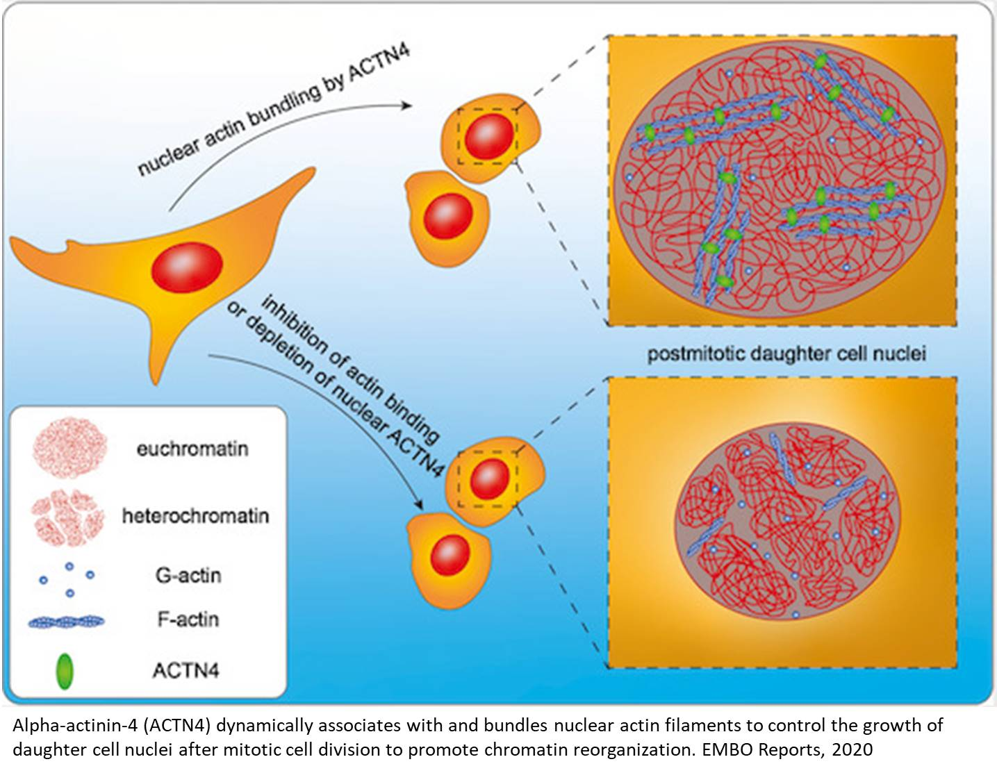 How nuclei enlarge after cell division