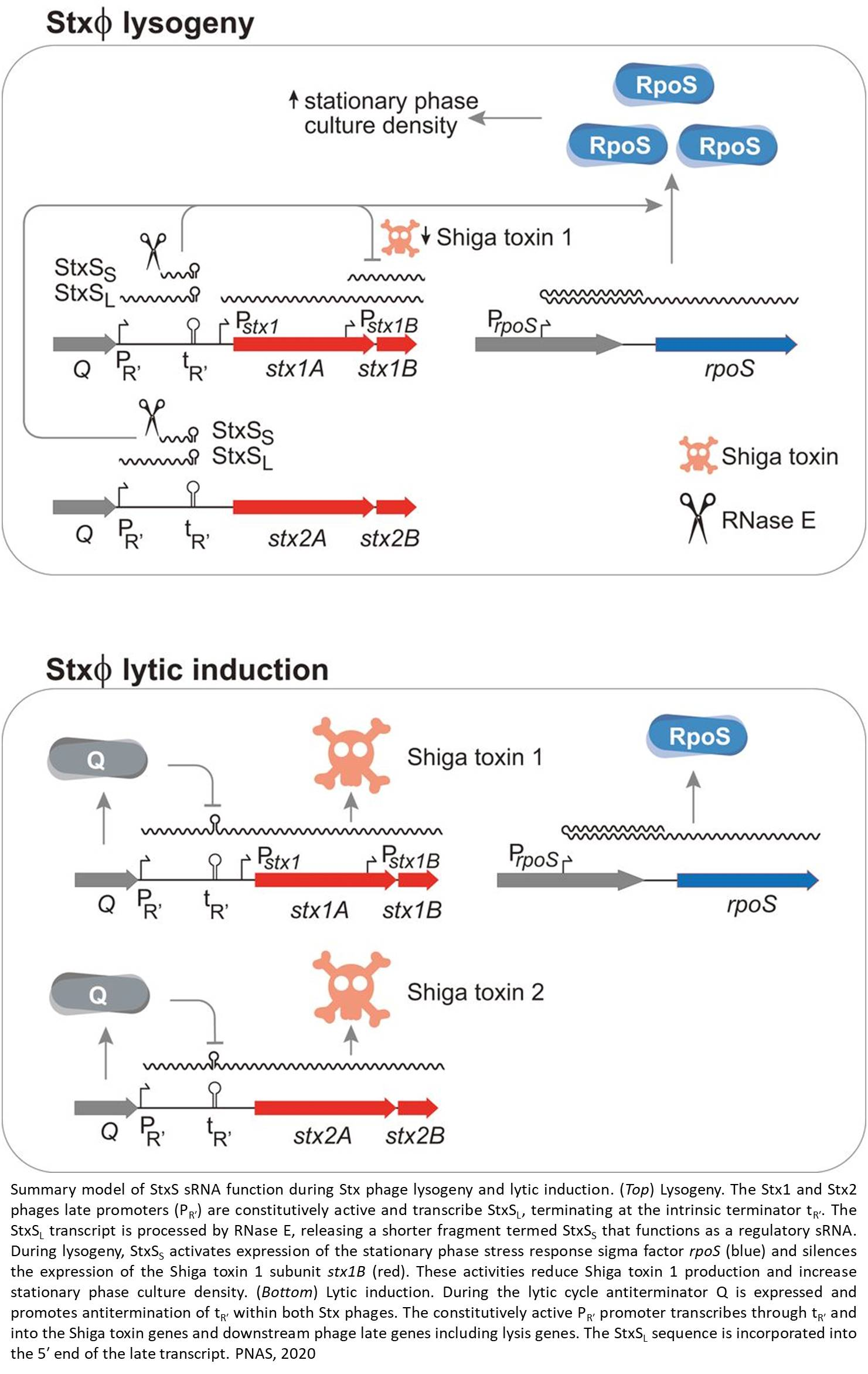 A new pathway regulating E.coli Shiga toxin