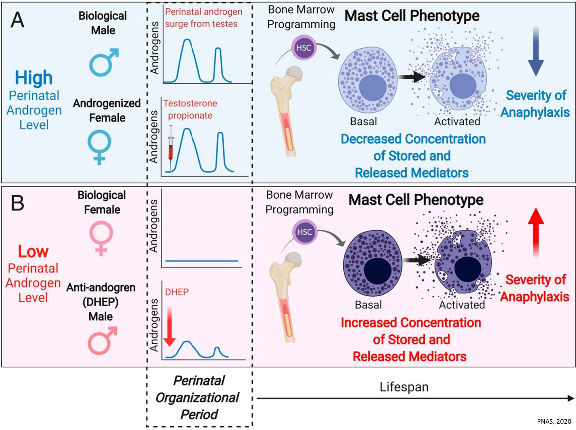 Connecting hormones we're born with to lifetime risk for immunological diseases