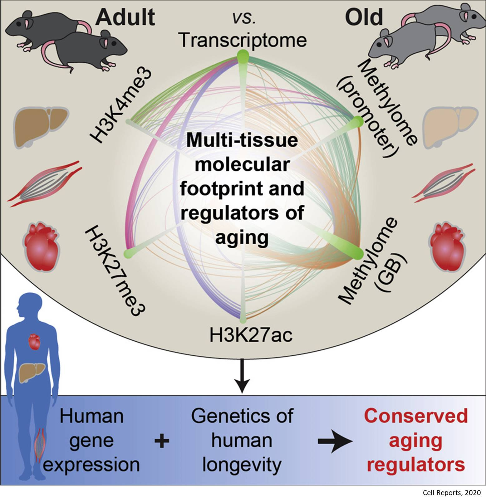 How aging affects genome?