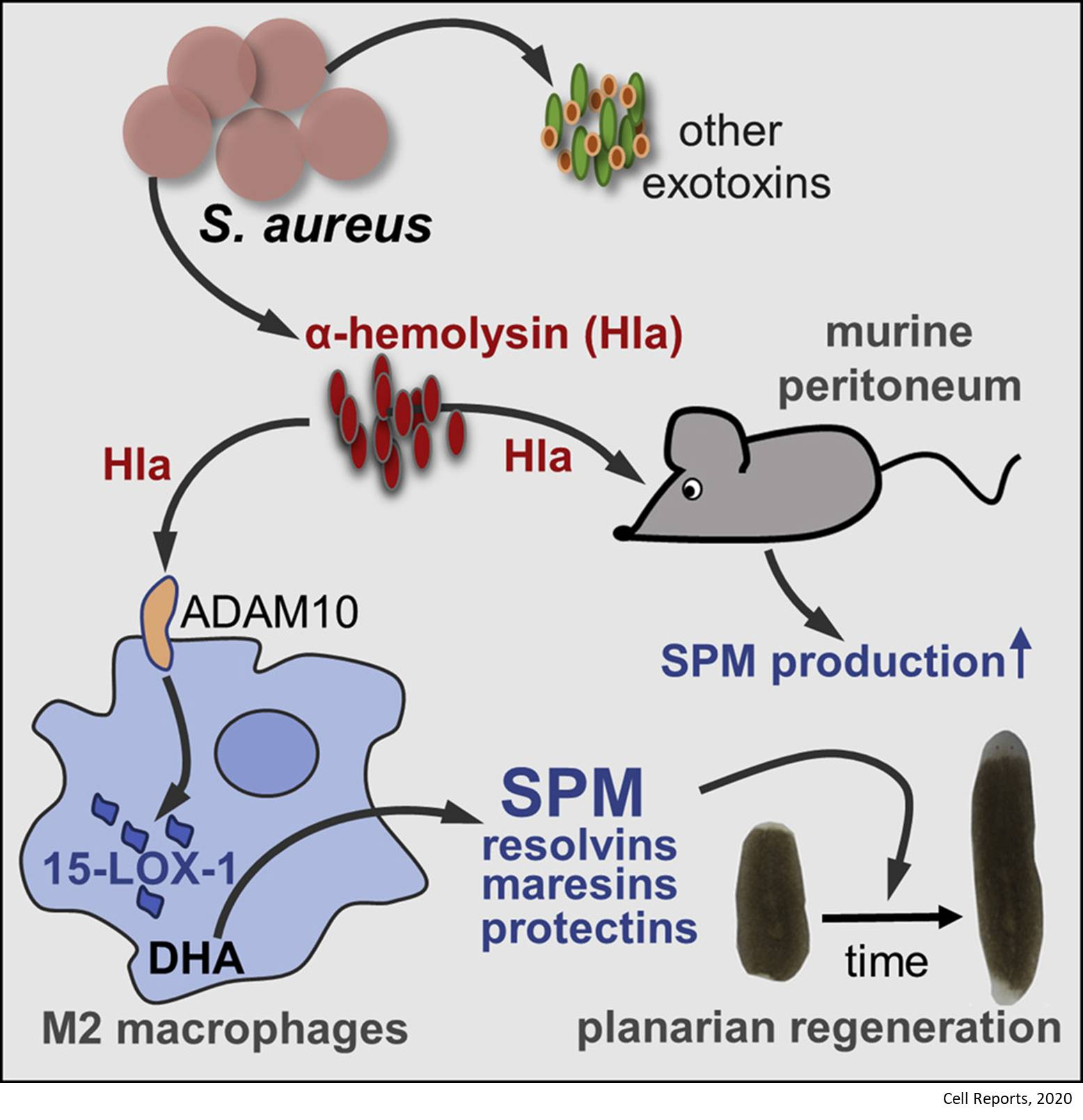 A toxic substance found in Staph bacteria stimulates tissue regeneration
