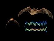 Sonar jam by Bats