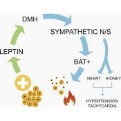 Leptin and Blood Pressure