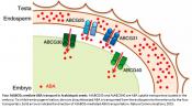 Mechanism of abscisic acid transport inside the plant embryos