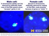 Silencing X chromosomes!