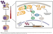 Mitochondrial fission necessary for cell reprogramming