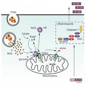 Hexokinase acts as an Immune Receptor!