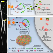 New understanding of ethylene signaling for plant growth