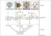 Cross-talk between cytokinin and auxin transporters in plants