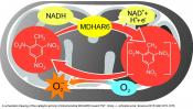 Mechanism of TNT toxicity in plants