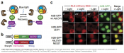 Controlling nuclear protein export using optogenetic tool