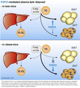 Mechanism of blood fat-lowering effect by FGF21