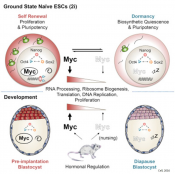 Myc is required for early embryo development