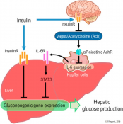 Brain-liver interaction results in hepatic inflammation during obesity