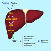 Fibroblast Growth Factor 21 Mediates Glycemic Regulation by Hepatic JNK