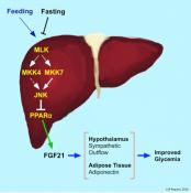 Fibroblast Growth Factor 21 Mediates Glycemic Regulation by Hepatic JNK