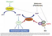 How diabetes drugs antagonize glucagon synthesis?
