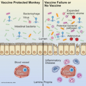 Immunodeficiency by AIDS virus through changes in gut microbiome and virome and prevented by vaccination