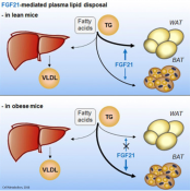 Mechanism of FGF21 mediated decrease in triglycerides