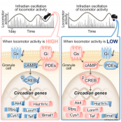 Manic oscillations of circadian genes in a mouse model of bipolar disorder