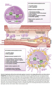 Regulating monocyte differentiation and atherosclerosis development