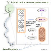 Transcription factor mediated signaling in axonal regeneration