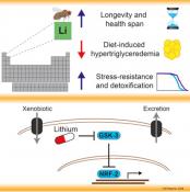 Mood stabilizer, lithium, increases life span in fruit flies