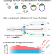 Controlling X chromosome gene expression during early human embryo development