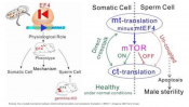 Novel crosstalk mechanism between mitochondrial and cytoplasmic translation
