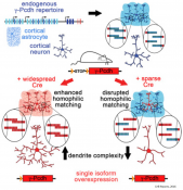 How brain cells get the message to develop a signaling network