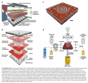 A microfluidics-based in vitro model of the gastrointestinal human-microbe interface