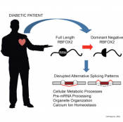 How diabetes damages the heart