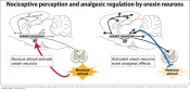 Link between wakefulness and fight-or-flight response in mice