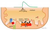 Protons Trigger Mitochondrial Flashes